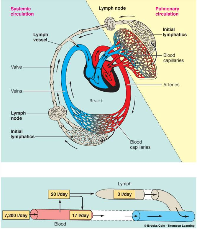 Force Flow Of Blood: Bio2305 Vascular Physiology Perfusion = Blood Flow Through